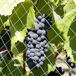 AviGard Flex Netting Is Perfect For Vineyard Applications To Lock Fruit Quality In And To Keep Crop-Damaging Birds Out.