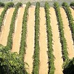 Four Sloped Rows On Left Have Been Netted And Three On Right Will Be – Flex Netting Drapes Uniformly Leaving Room In 8ft Rows