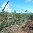 Fully Enclosed Blueberry Field Fully Protected Against Birds By AviGard. Note Wire Mesh Base To Keep Chewing Animals Out