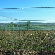 Large Commercial Blueberry Field Fully Protected By Easy Fit – Netting Edges Are Overlapped And Joined On Cross Wire Supports.