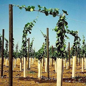 First year vines grow fast and strong to a 6ft wire and then more! These vines won't need to be cut back to two buds like the old days.