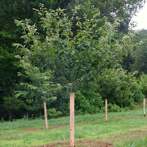 Protected From Deer When They Were Seedlings Hybrid Chestnut Orchard Trees In 4th Season Growing Big And Strong In SunFlex