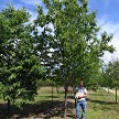 "23ft Tall After Only 8 Seasons Hybrid Chestnut Orchard Tree Started As A Seedling In 5ft SunFlex Tube - Grower Is 6' 2"" For Comparison"