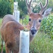 Velvet-Antlered Buck Whitetail Enjoys Seedling Tops Emerging From 3ft Tube. 4ft Tube In Background Has Also Been Browsed.