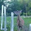Doe Whitetail Has No Trouble Reaching Seedling Top Poking Out Of 4ft Tube – Always Choose 5ft Or 6ft Height In Deer Country.